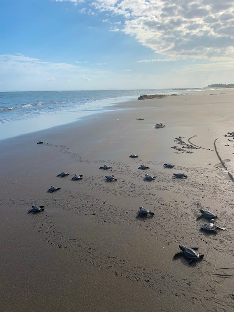 Release baby turtles